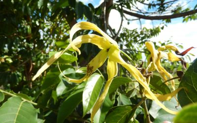 HUILE ESSENTIELLE D' YLANG-YLANG