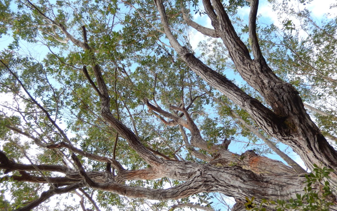 Huiles essentielles de Ravintsara et Eucalyptus