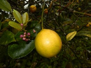 L'essence de Citron zeste