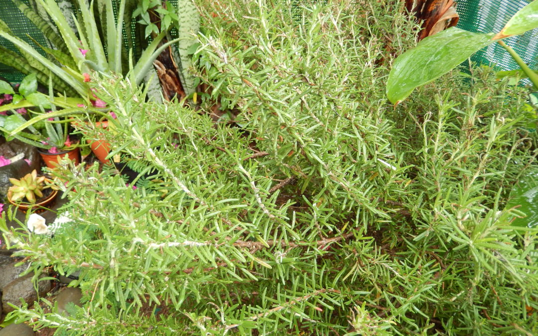 Romarin Huile essentielle  et plante
